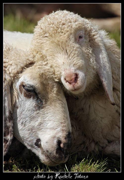 Animales cariñosos: Carneros