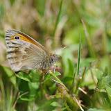 Coenonympha pamphilus (Linnaeus, 1758). Les Hautes-Lisières (Rouvres, 28), 6 juin 2015. Photo : J.-M. Gayman