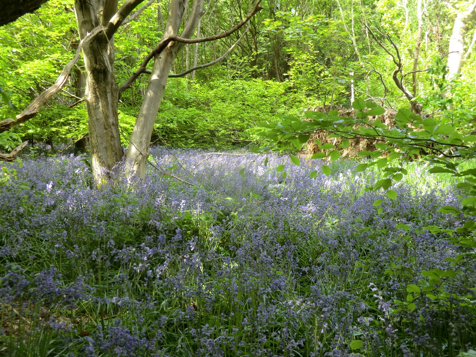 CIMG4290 Bluebells on Mariners Hill