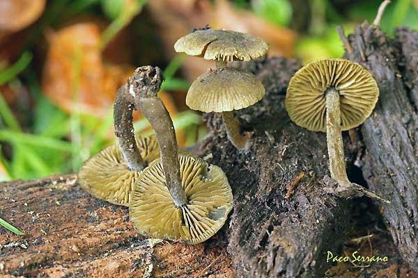 Simocybe centunculus