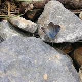 Alpherakya devanica vanjica ssp. nova mâle : entrée de la gorge de Gishkun, 1800 m, près de Vanj ; 17 juillet 2008. Photo : Jean-Marie Desse