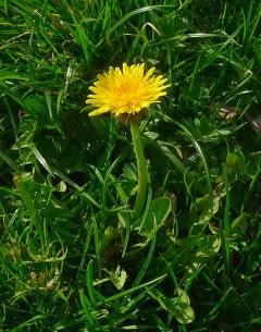 Mniszek kwiat miniaturka