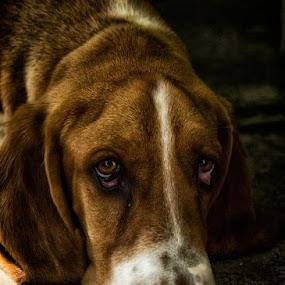 Archibald by Jasna Petrovic-Zivkovic - Animals - Dogs Portraits