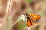 Thymelicus sylvestris.jpg