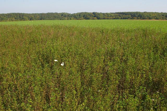 Piérides sur une parcelle de luzerne fleurie. Les Hautes-Lisières (Rouvres, 28), 29 septembre 2011. Photo : J.-M. Gayman