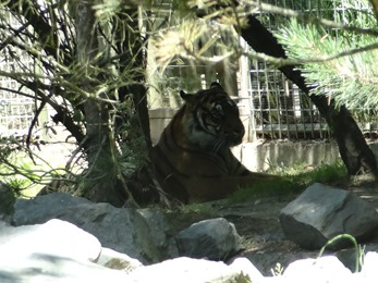 2017.06.17-018 tigre