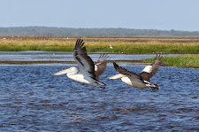 Pelicans taking off from the Carmor floodplains