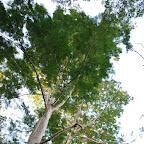Árboles de follaje de los cafetales