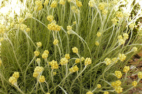 helichrysum stoechas.JPG