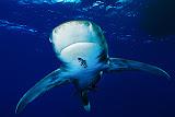Longimanus, Daedalus reef (© 2015 Bernd Neeser)