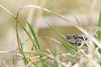 SURVEILLANCE   La vipère aspic est un animal très placide, n'en déplaise à ses détracteurs ! Elle prend le soleil et observe son territoire à la recherche de rongeurs à croquer...