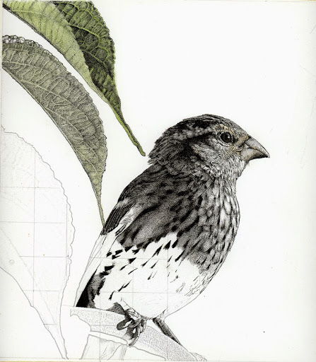 grosbeak-2014-11-10-08-30.jpg