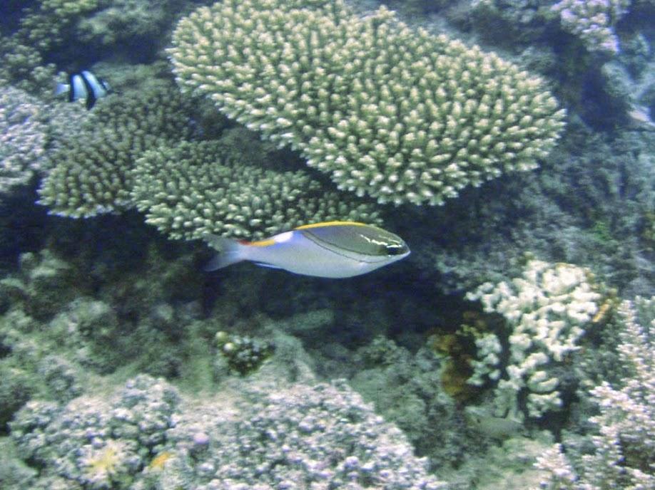 Scolopsis bilineatus (Two-line Monocle Bream), Naigani Island, Fiji.