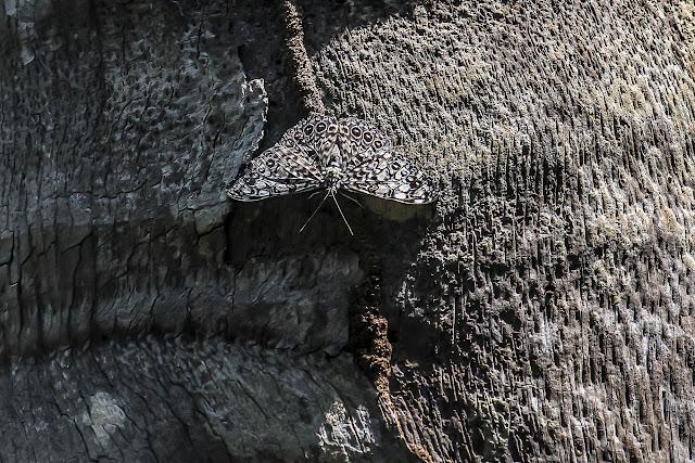 Hamadryas feronia farinulenta (Fruhstorfer, 1916). Fundo Palmarito, 265 m (Casanare, Colombie), 7 novembre 2015. Photo : B. Lalanne-Cassou