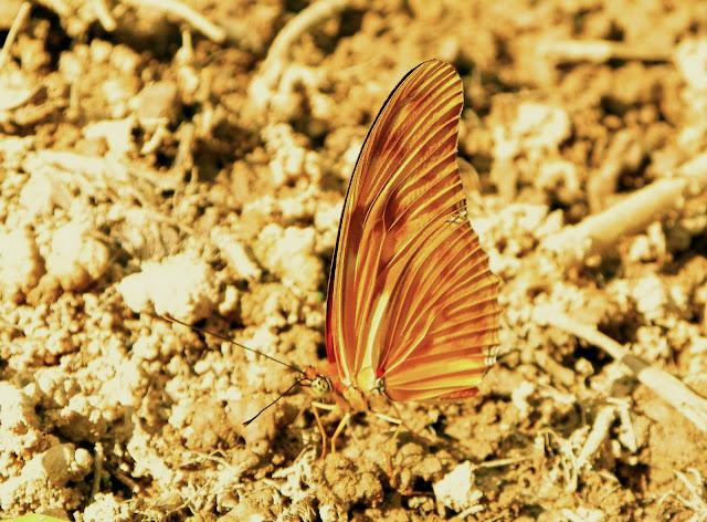 Dryas iulia (FABRICIUS, 1775). Pitangui (MG, Brésil), 24 avril 2011. Photo : Nicodemos Rosa