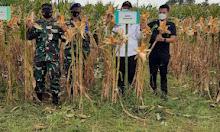 Bupati dan Menteri Pertanian Panen Raya Jagung
