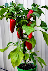 Capsicum, Peppers