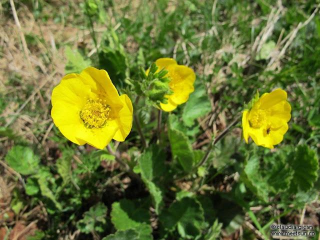 flori galbene: slipeti