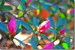 azaleas blooming - 3