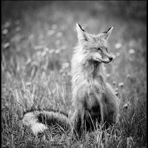 Red Fox-4.jpg