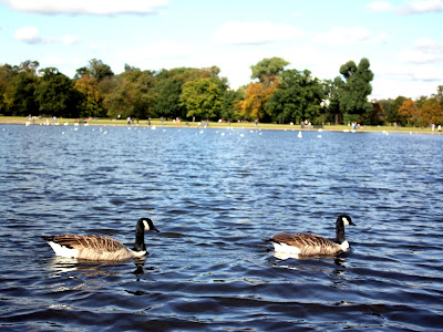 Geese in Hyde Park