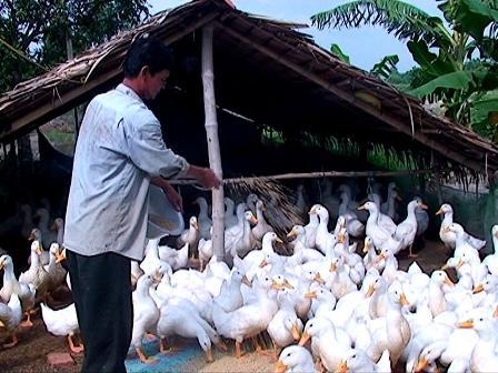 Kỹ thuật chăn nuôi vịt thả vườn khỏe mạnh, năng suất cao - 562ee895ab4ba