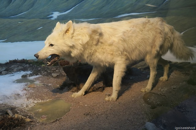 Jon Snow's direwolf from the Game of Thrones? Artic wolf