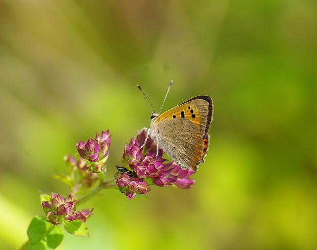 Lycaena phlaeas, LINNAEUS, 1761, mâle, verso. Les Hautes-Lisières, 16 juillet 2009. Photo : J.-M. Gayman