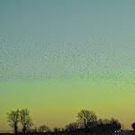 Flock_of_birds._Newtonia_MO._2014_Symanntha_Renn.JPG
