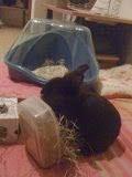 [adopté] Mica, lapin noir Mica5-1f91a