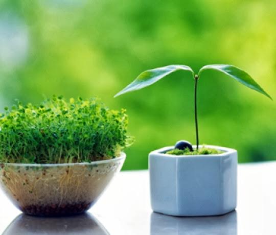 chau+hoa+12 Cách trồng chậu cây nhỏ xinh từ hạt thanh long