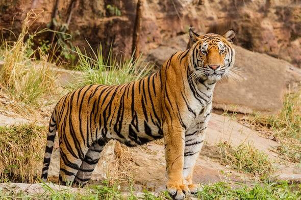 Facts about Tiger Stripe