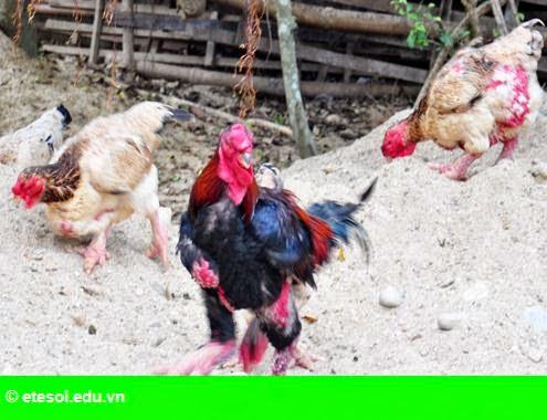Hình 2: Kỹ sư xây dựng làm giàu với chim, gà quý