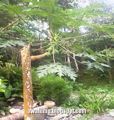 pohon pepaya