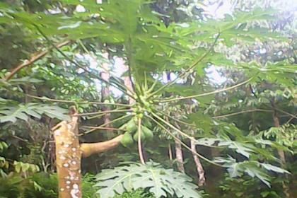 Foto Pohon Pepaya yang Tumbuh Lagi Setelah Ditebang