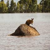 Les inondations au Queensland : wallaby sur une meule.  30 décembre 2010. AP Photo/Anthony Skerman