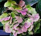 Pink - Green Hydrangeas