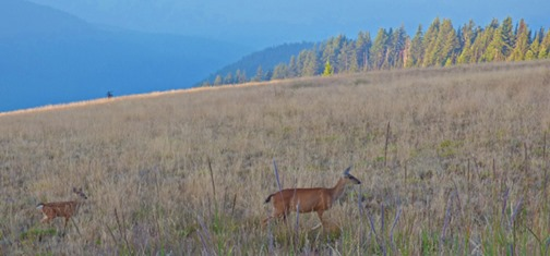 Doe and Fawn at Huricanne Ridge
