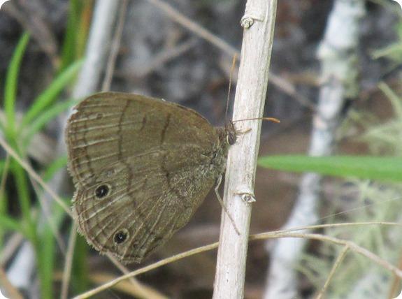 Hampton Tract - Carolina Satyr Hermeuptychia sosybius Butterfly