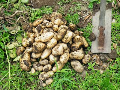 ジャガイモ大量収穫!
