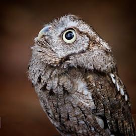Portrait of  screech owl by Sandy Scott - Animals Birds ( bird, owl portrait, predator, birds of prey, animals, nature, avian, screech owl, owl, wildlife, raptor )