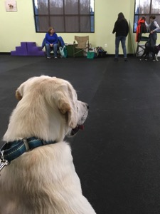 A white Labrador Retriever sits during a training class session