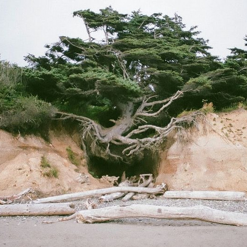 The Tree of Life in Kalaloch, Washington