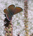 Rødplettet blåfugl2.jpg