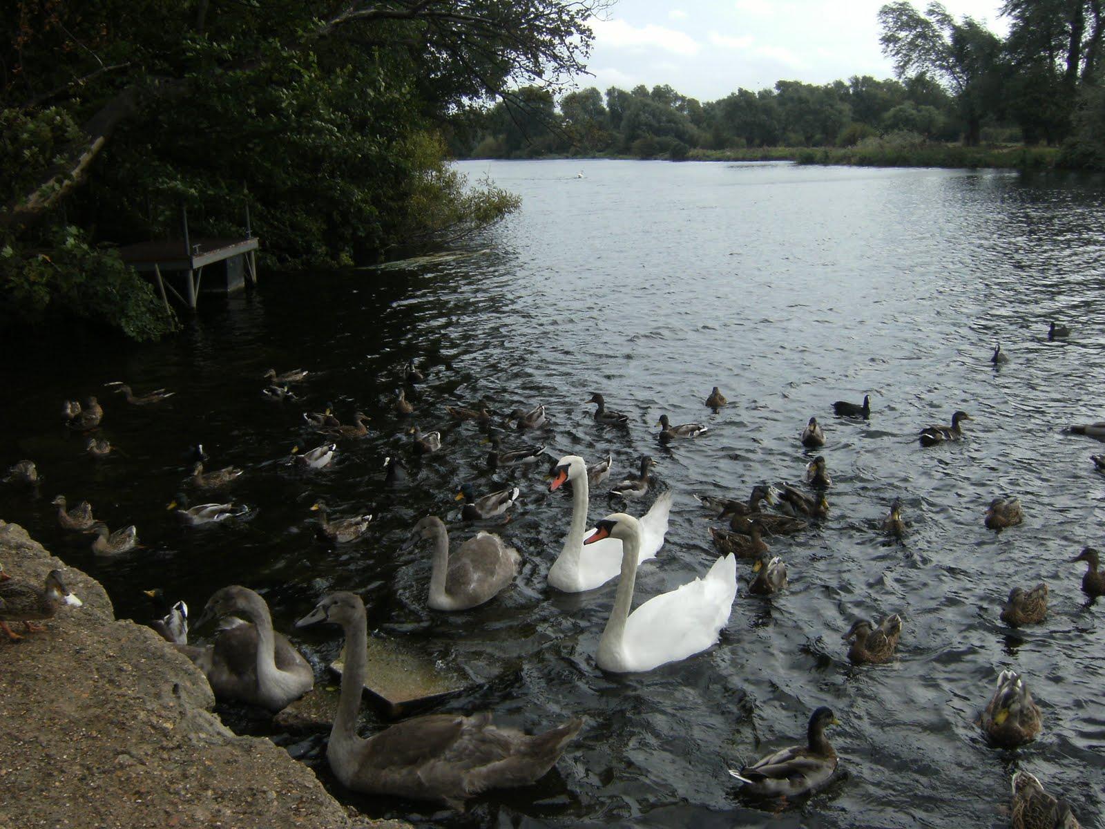 DSCF9422 River Great Ouse near Hartford