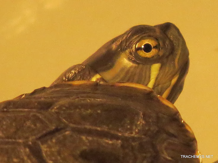 mes tortues (BK) - Page 12 IMG_4066