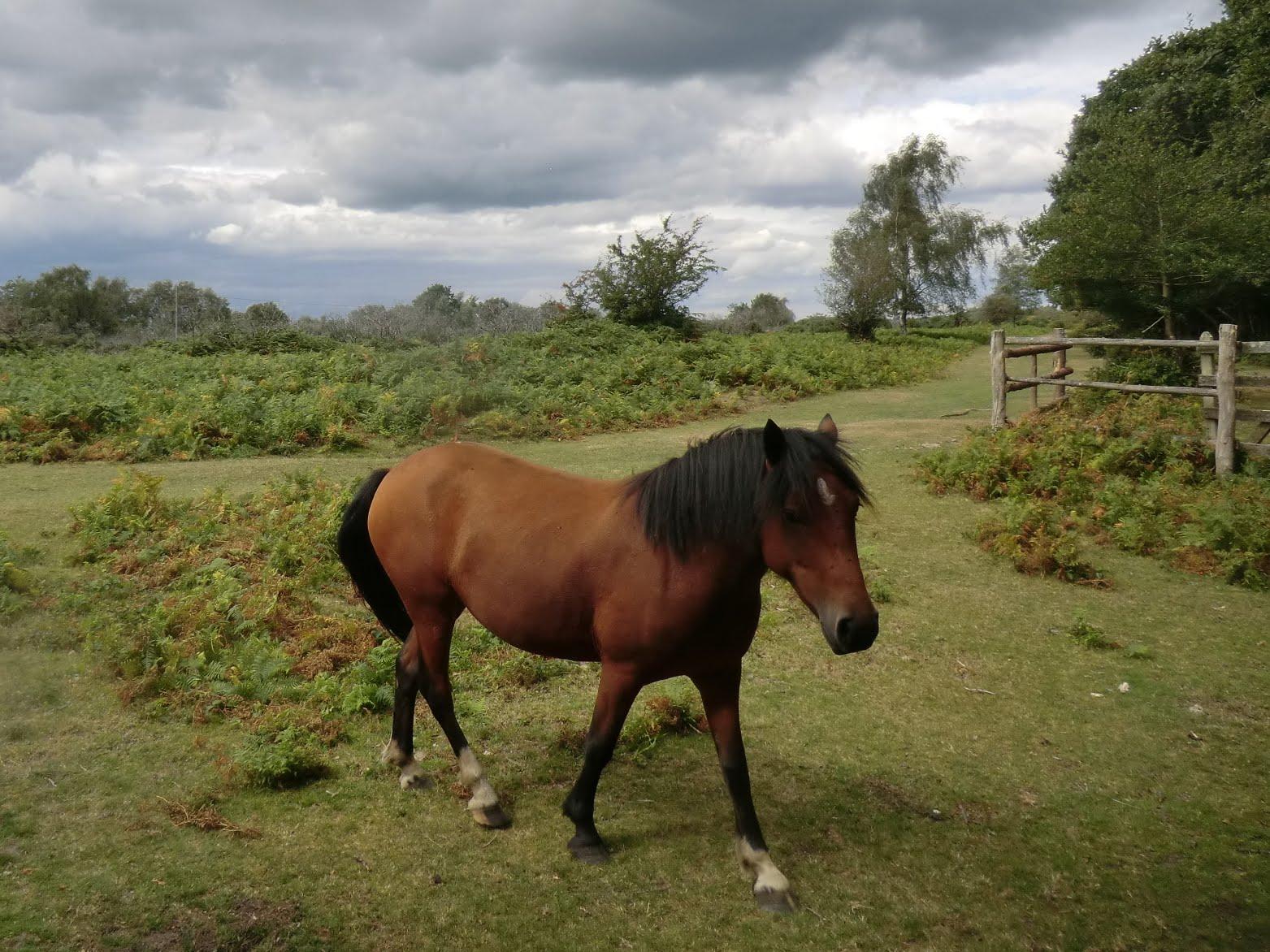 CIMG4322 New Forest Pony