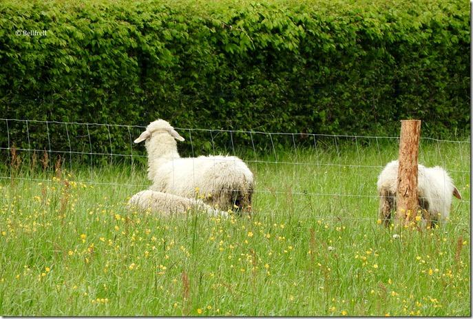 Schafe in St. Josef