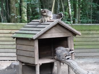 2017.08.06-046 ratons laveurs