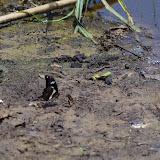 Papilio hesperus hesperus WESTWOOD, 1843, mâle. Ebogo (Cameroun), 8 avril 2012. Photo : J.-M. Gayman